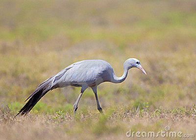National Bird Of South Africa, The Blue Crane Stock Photo.
