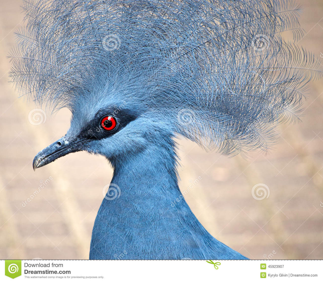 Blue Crowned Pigeon Stock Photo.