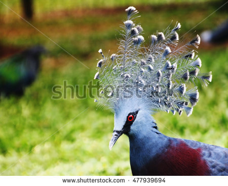 Crowned Pigeon Stock Photos, Royalty.