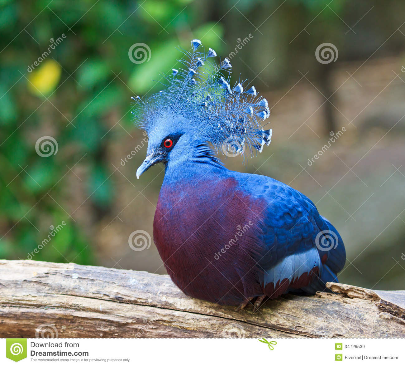 Victoria Crowned Pigeon Or Goura Victoria Royalty Free Stock.