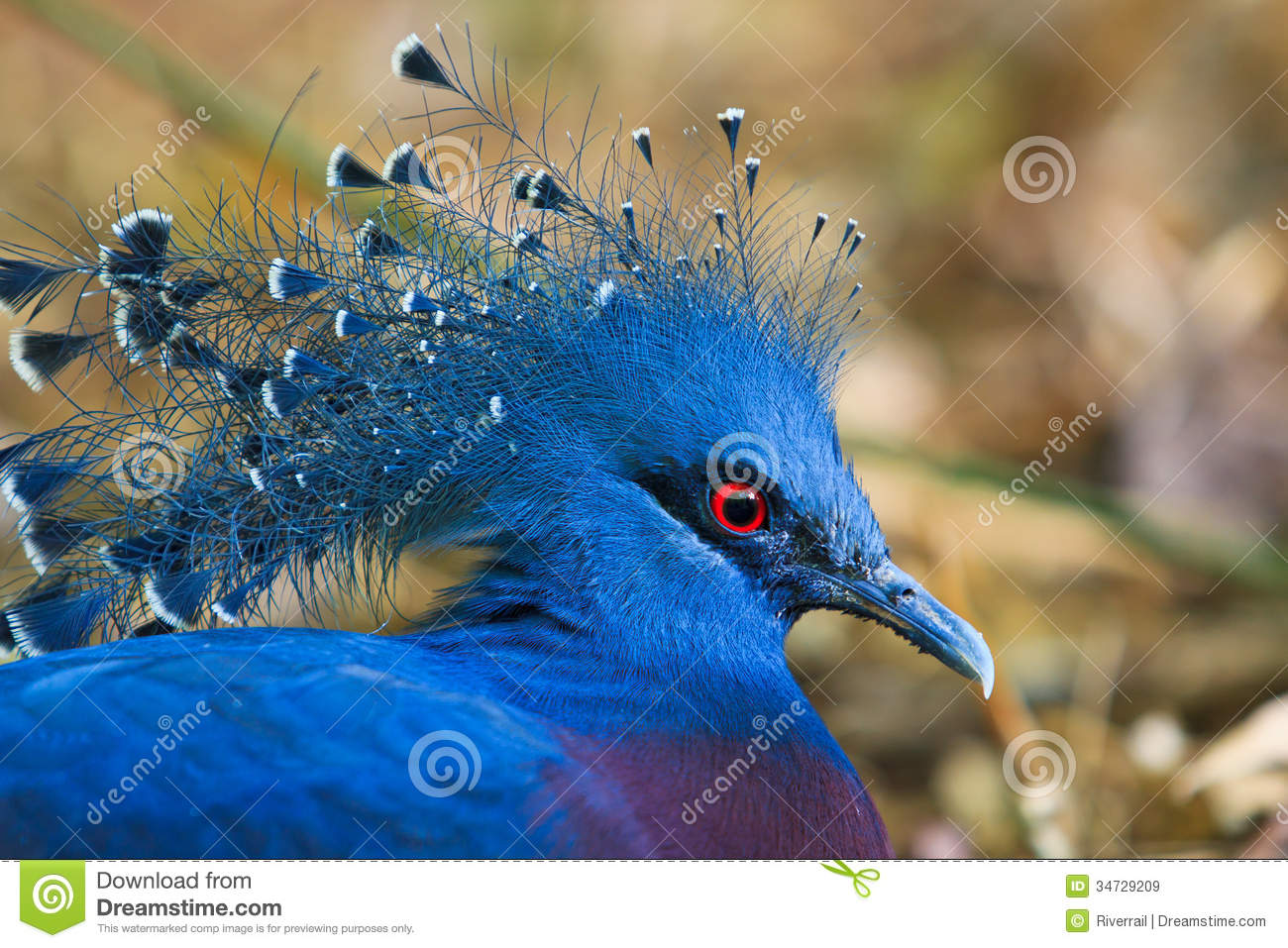 Victoria Crowned Pigeon Royalty Free Stock Images.