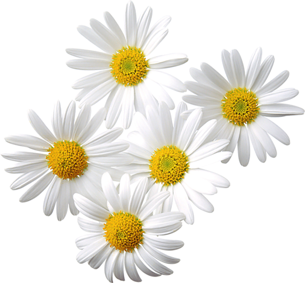 Transparent Daisies Clipart.