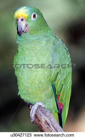 Stock Photo of Blue fronted amazon bird u30427123.