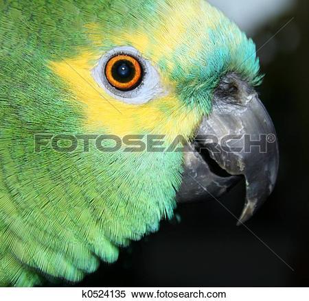 Stock Image of Blue Fronted Amazon k0524135.