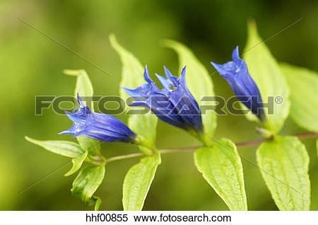 Stock Image of Willow gentian, Gentiana asclepiadea, close.