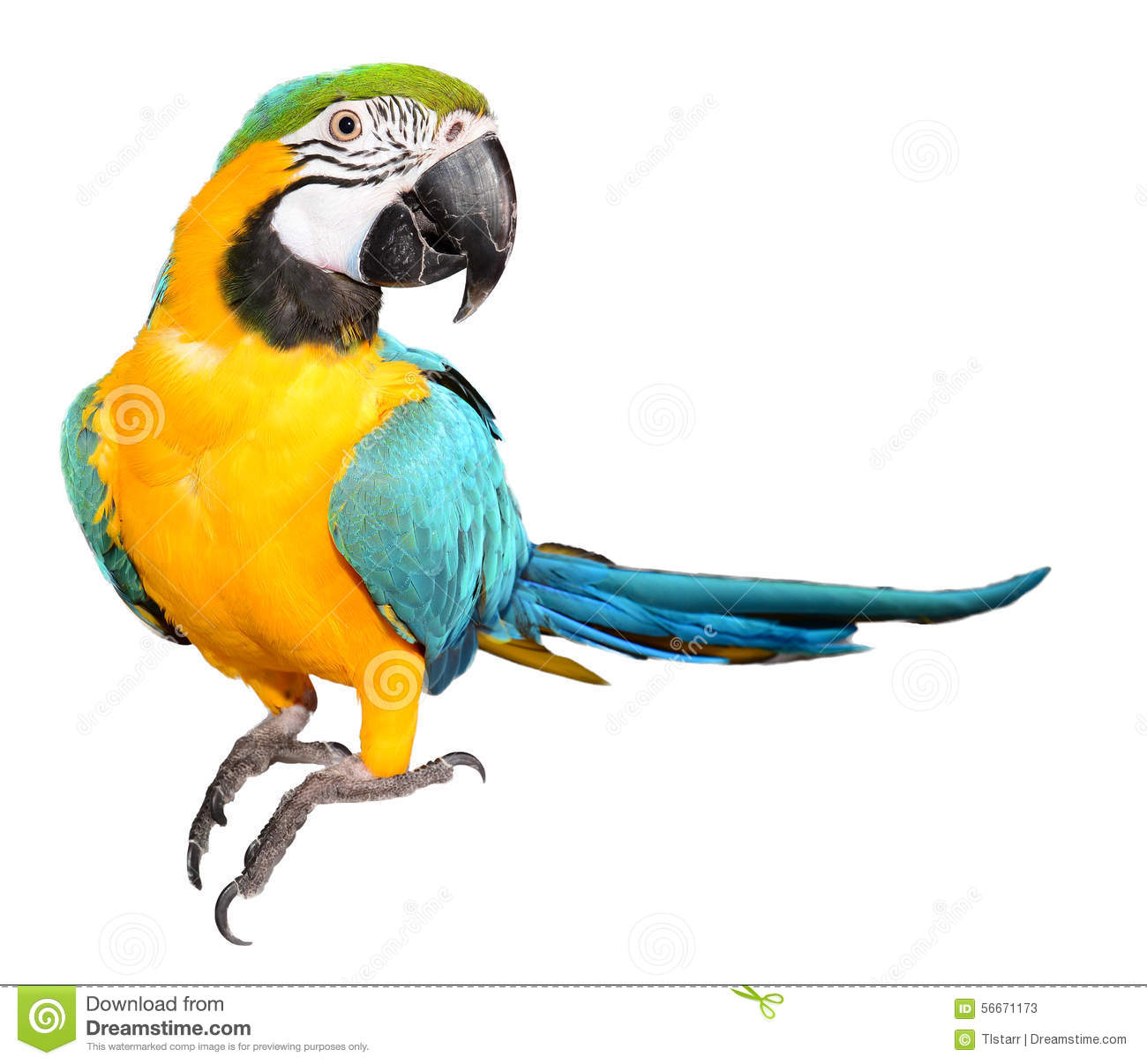 Blue And Gold Macaw On White Background Stock Photos.