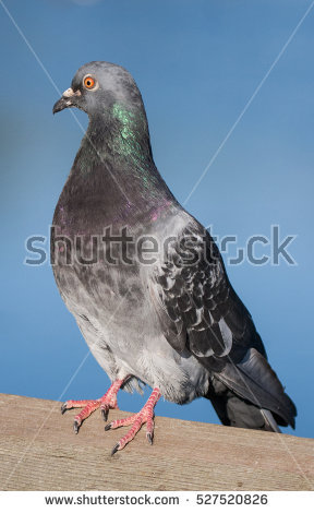 Blue Rock Pigeon Stock Photos, Royalty.