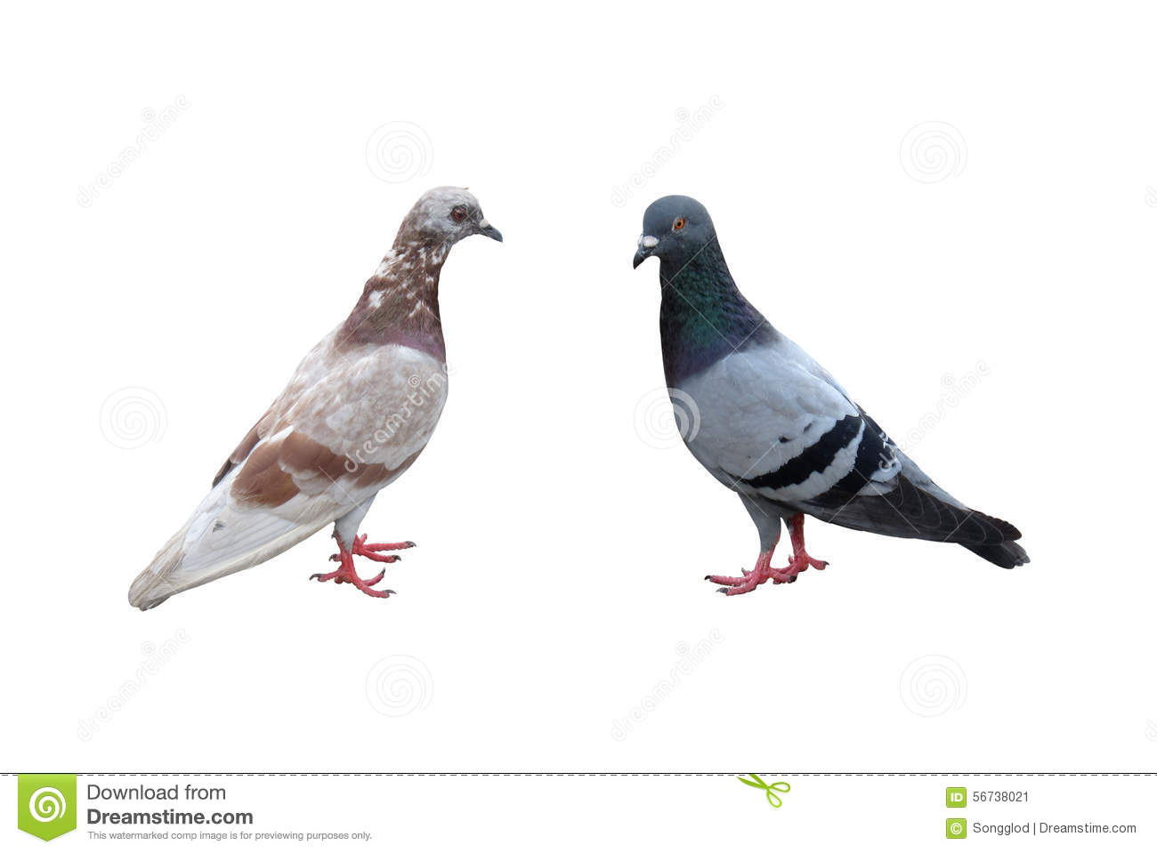 Pair Of Pigeons Male And Female Isolated On White Background Stock.