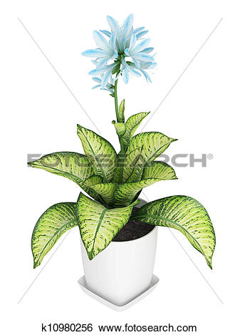 Stock Illustration of Pretty blue flowering Hosta k10980256.
