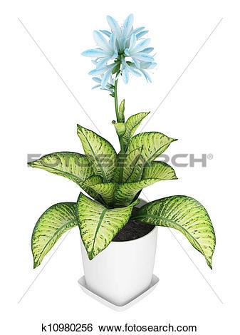 Stock Illustration of Pretty blue flowering Hosta k10980256.