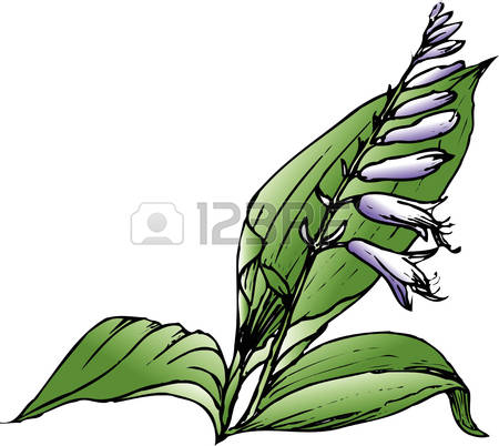 Hosta Stock Illustrations, Cliparts And Royalty Free Hosta Vectors.