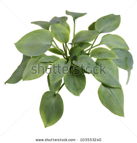 Hostas Plants Stock Photos, Royalty.