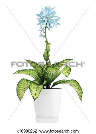Clip Art of Pretty blue flowering Hosta k10980252.