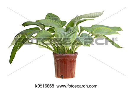 Pictures of Isolated plant of a blue hosta k9516868.