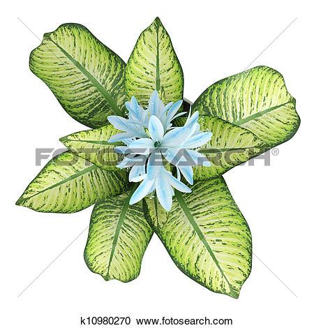 Stock Illustrations of Pretty blue flowering Hosta k10980270.