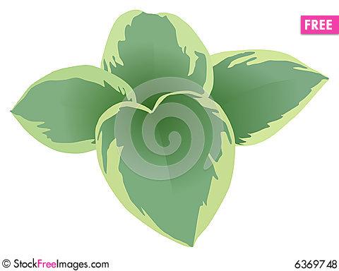 Hosta Plant.