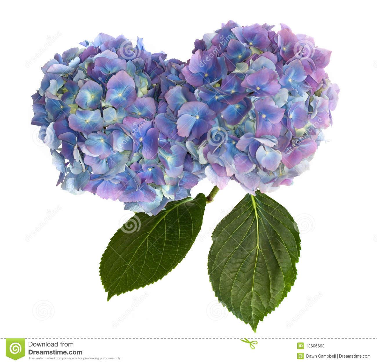 Purple And Blue Hydrangea Stock Photography.