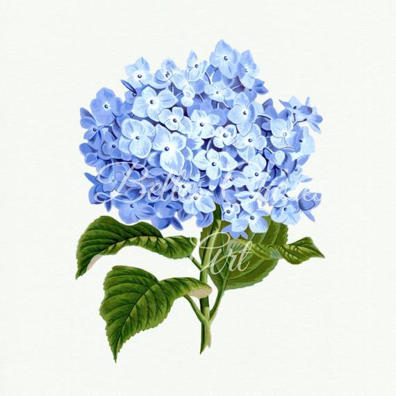 Hydrangea Print, Hydrangea Digital Flower, Hydrangea Clip.