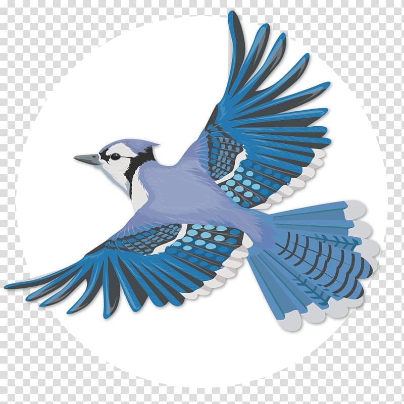 Blue jay Bird Flight Wing, Blue Jay transparent background PNG.
