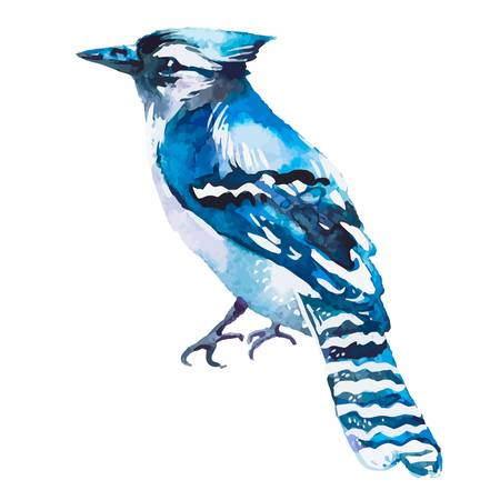 298 Blue Jay Bird Stock Illustrations, Cliparts And Royalty Free.
