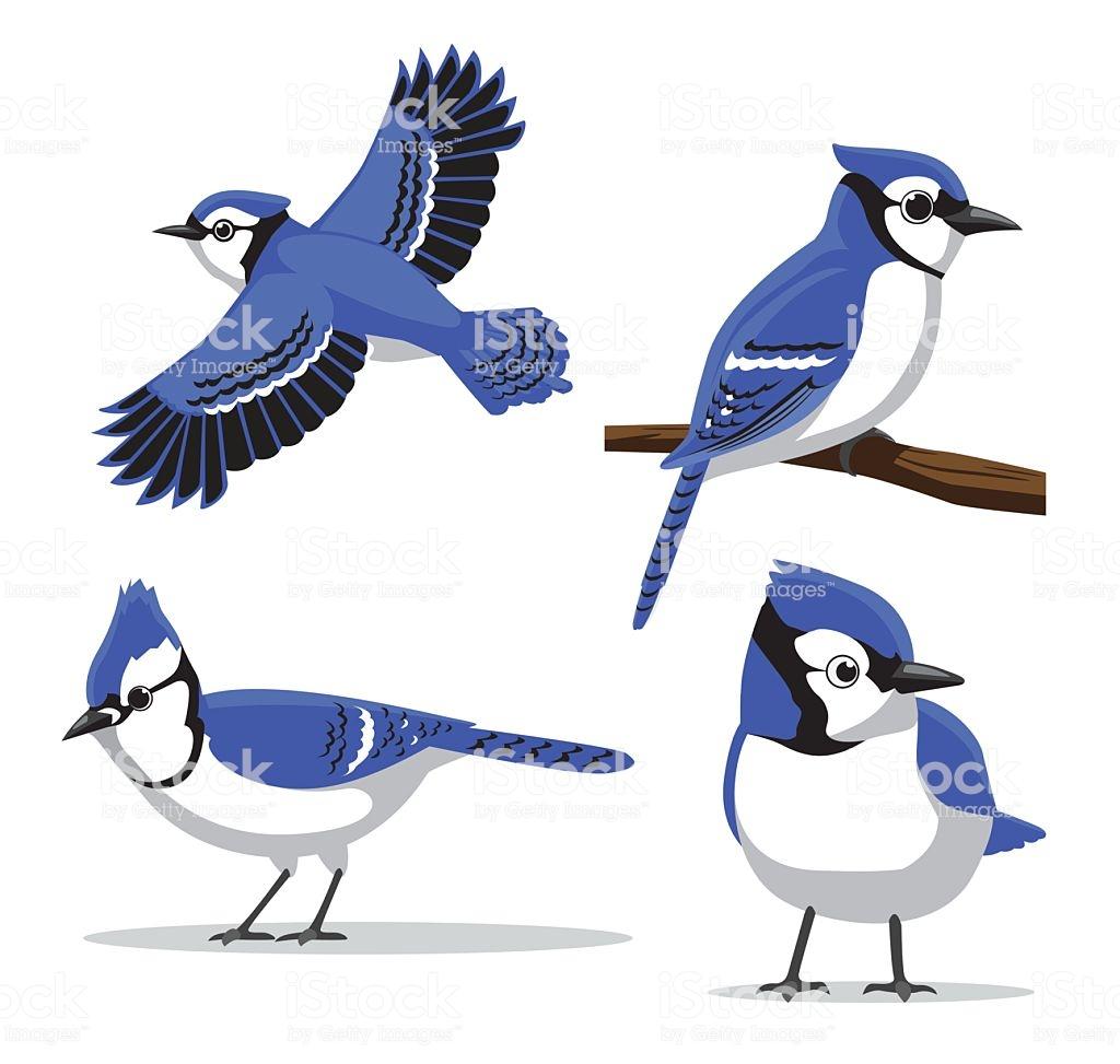 Best Blue Jay Illustrations, Royalty.