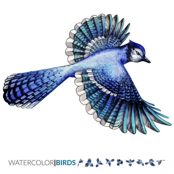 Best Blue Jay Bird Illustrations, Royalty.