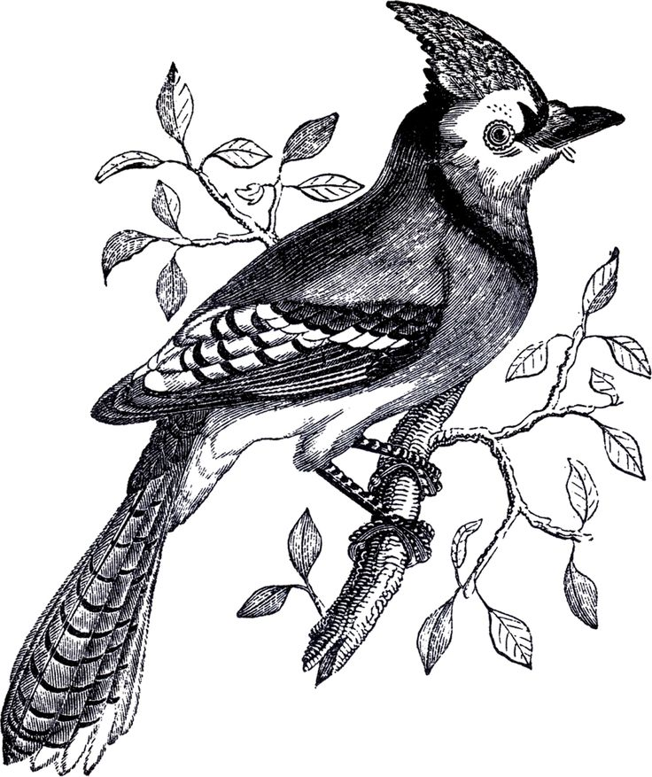 Free Blue Jay Clipart Black And White, Download Free Clip Art, Free.