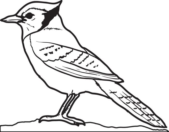 Blue Jay Coloring Page.