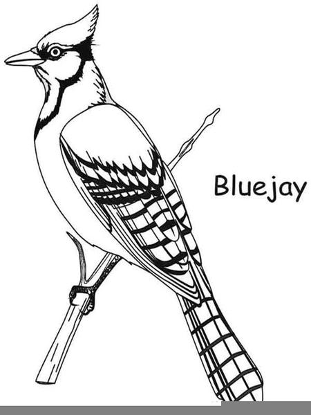 Toronto Bluejay Clipart.