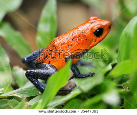 Red Eyed Tree Frog Gaudy Leaf Stock Photo 223329445.