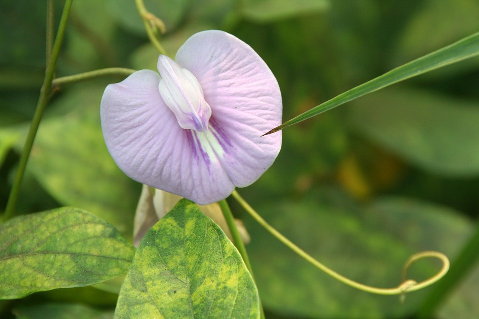 Free photo Clitoria Ternatea Blue Klitorie Butterfly Pea.