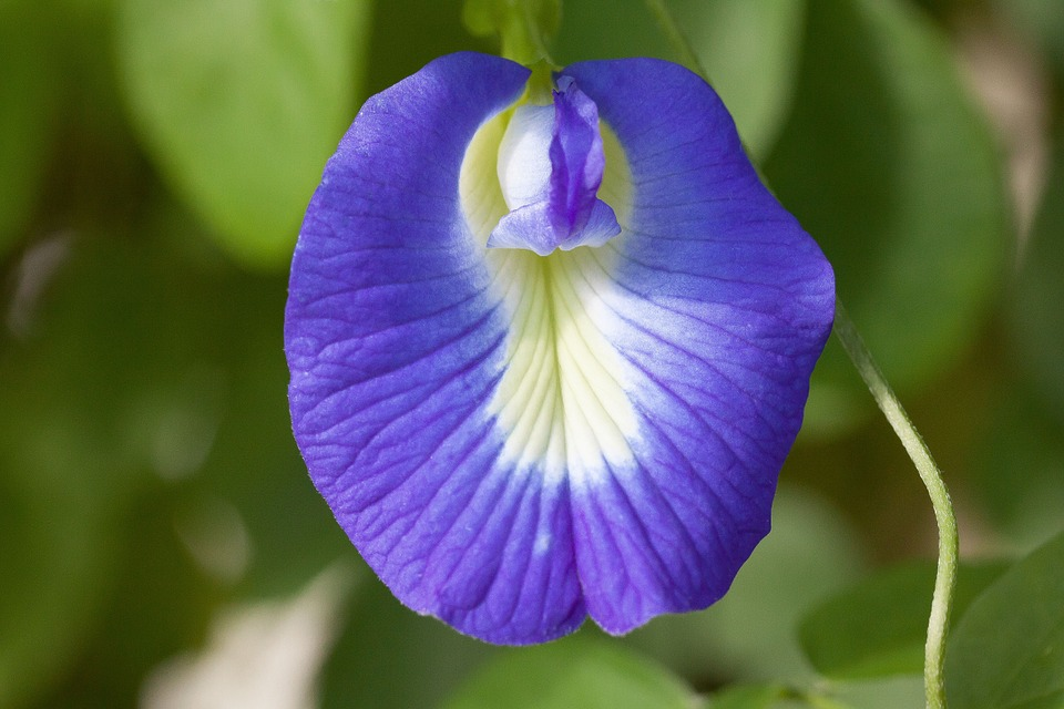 Free photo: Clitoria Ternatea, Blue Klitorie.