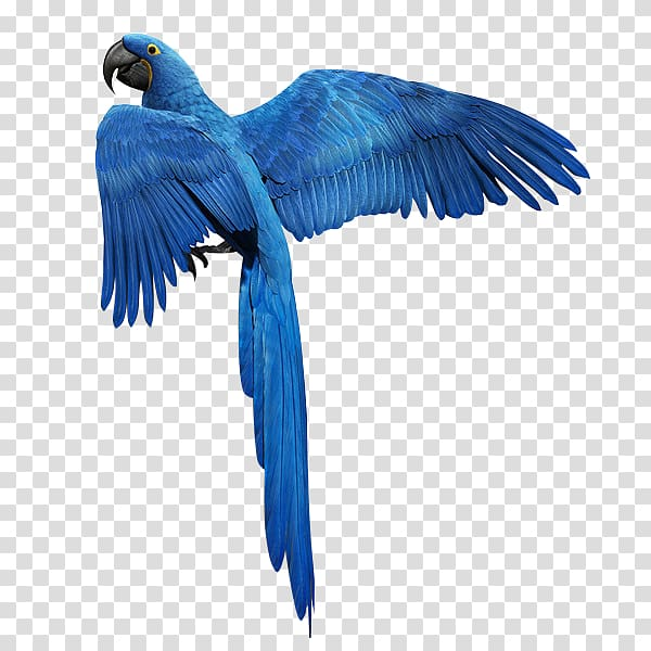 Blue macaw , Bird Parrot Feather Golden parakeet, Blue.