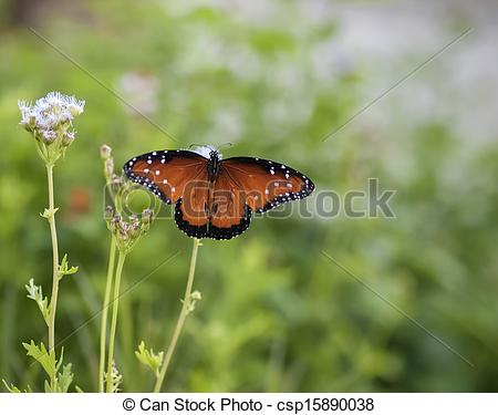 Stock Photos of Beautiful Monarch Butterfly on a Blue Mist Flower.