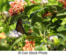 Stock Photos of Monarch Butterfly on Blue Mist Flower csp0834153.