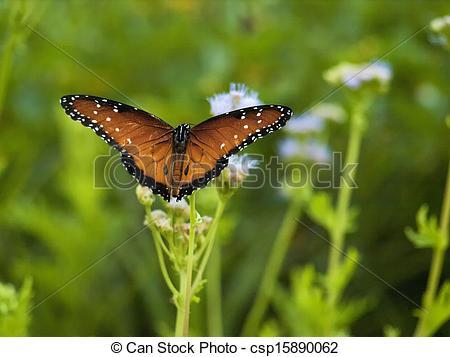 Stock Image of Beautiful Monarch Butterfly on a Blue Mist Flower.