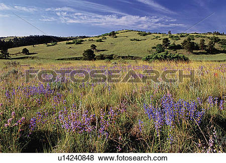 Pictures of flowers blue mist penstemon lupine indian color.