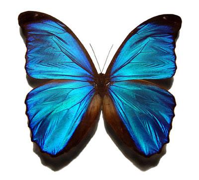 Morpho butterfly clipart.