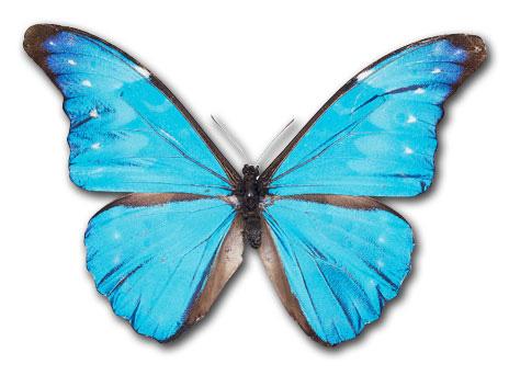 Blue morpho butterfly clipart.
