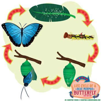 Life Cycle of a (Blue Morpho) Butterfly Clip Art Set.
