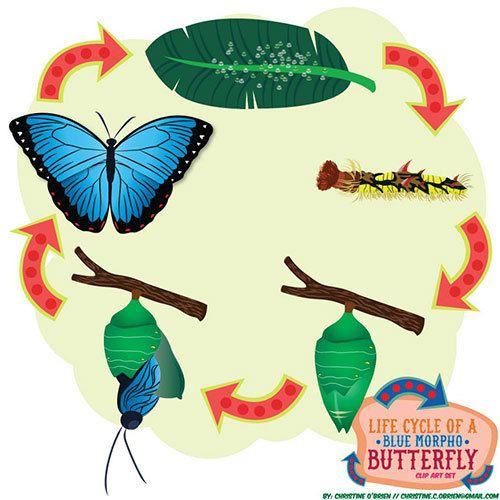 Life Cycle of a Blue Morpho Butterfly Clip by ChristineOCreative.