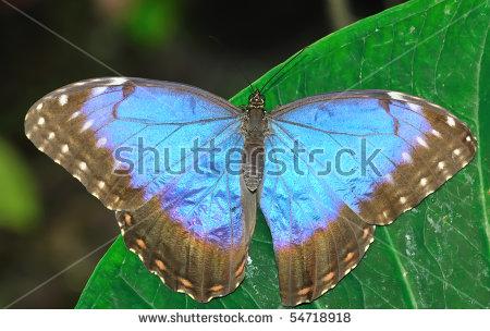 Beautiful Blue Butterfly On Wet Green Stock Foto 57090322.