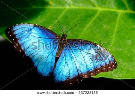 Blue Morpho Morpho Peleides Big Butterfly Stock Foto 407651284.