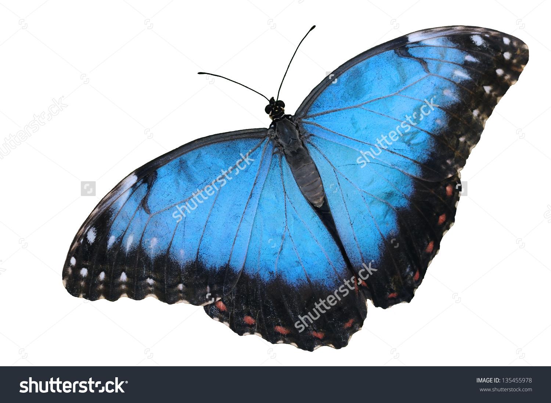 Blue Morpho Butterfly Morpho Peleides Isolated Stock Foto.