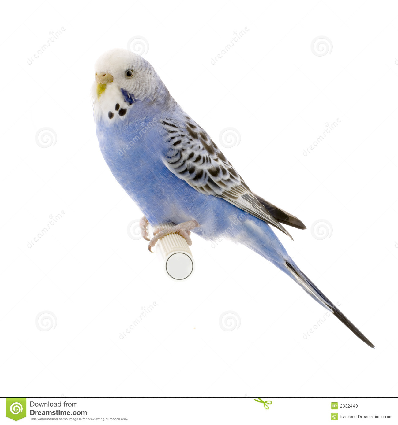 Blue And White Budgie Royalty Free Stock Image.