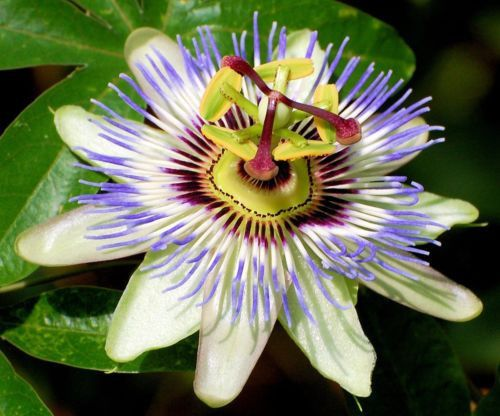 1000+ images about passiflora on Pinterest.