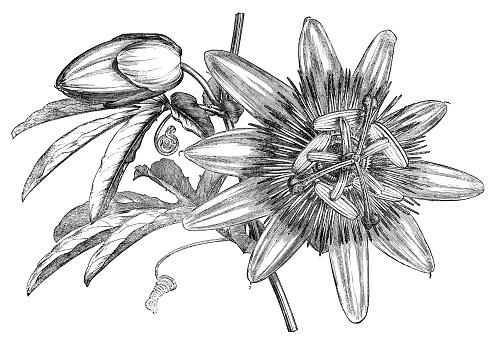 Passion Fruit Passion Vine Clip Art, Vector Images & Illustrations.
