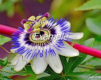 Blue passion flower.