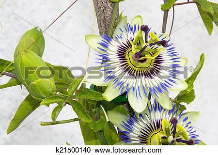 Stock Photography of Blue passion flower (Passiflora caerulea.