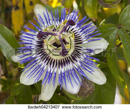 Picture of Blue passion flower (Passiflora caerulea.